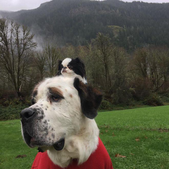 Неймовірна дружба: кімнатна собачка побачила світ, осідлавши величезного сербернара (ФОТО)