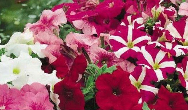 Роскошная петуния в вашем саду: секреты выращивания рассады